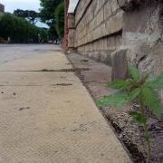 Hemp plant in the wild.