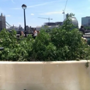 Cannabis plants in London