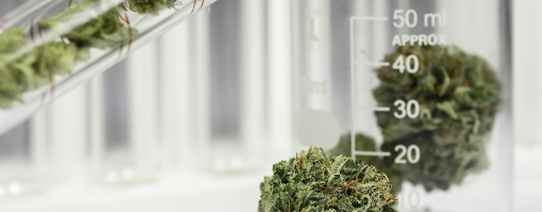 Cannabis in a science laboratory.