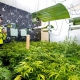 Cannabis factory police bust UK