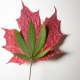 Photo of cannabis leaf on top of a maple leaf.
