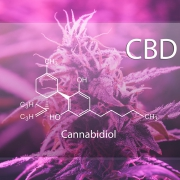 CBD weed educes psychosis rates