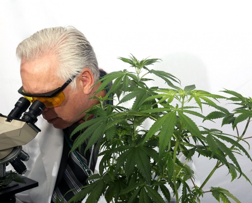Doctor with a microscope in a medical cannabis laboratory