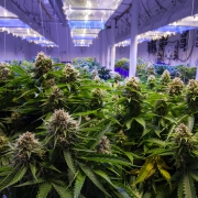 Commercial cannabis grow room 2020