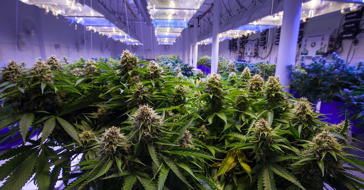Commercial cannabis grow room 2020