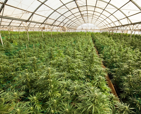 Crop17, a project to help investors set up legal cannabis farms in the UK like the one illustrated in the photo